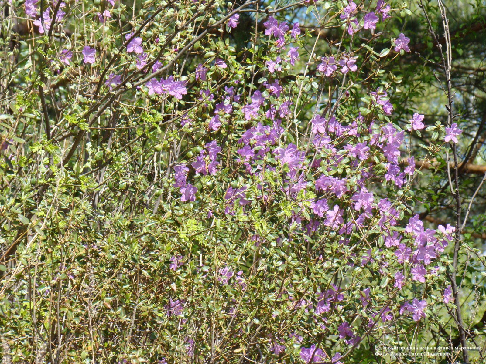На Алтай пришла весна, и зацвёл маральник.