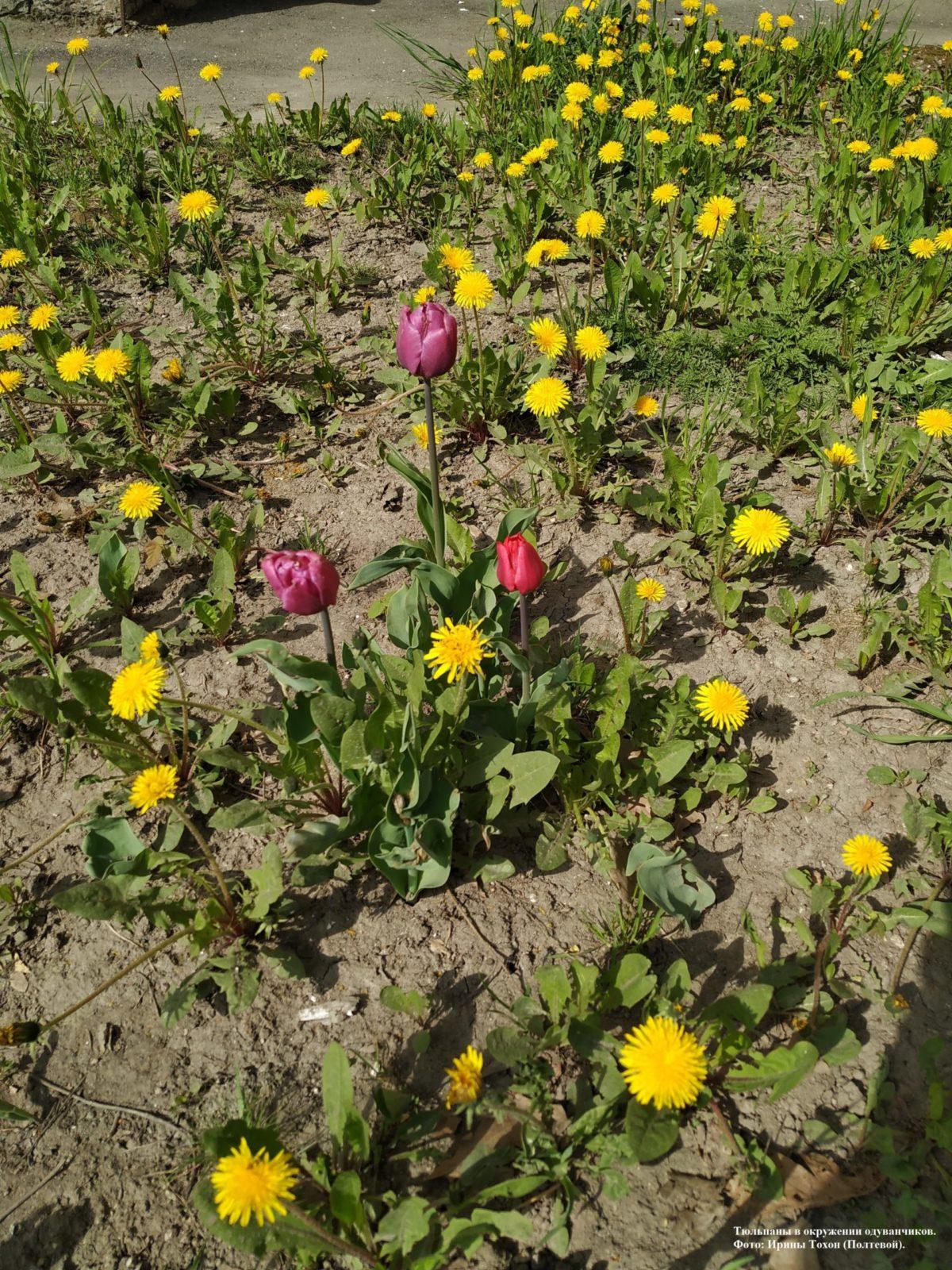 Тюльпаны в окружении одуванчиков.