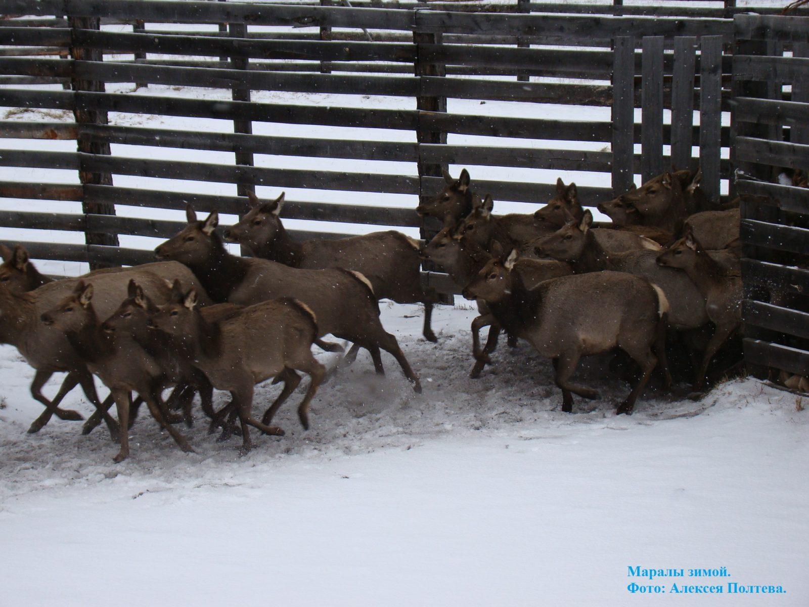 Маралы зимой.