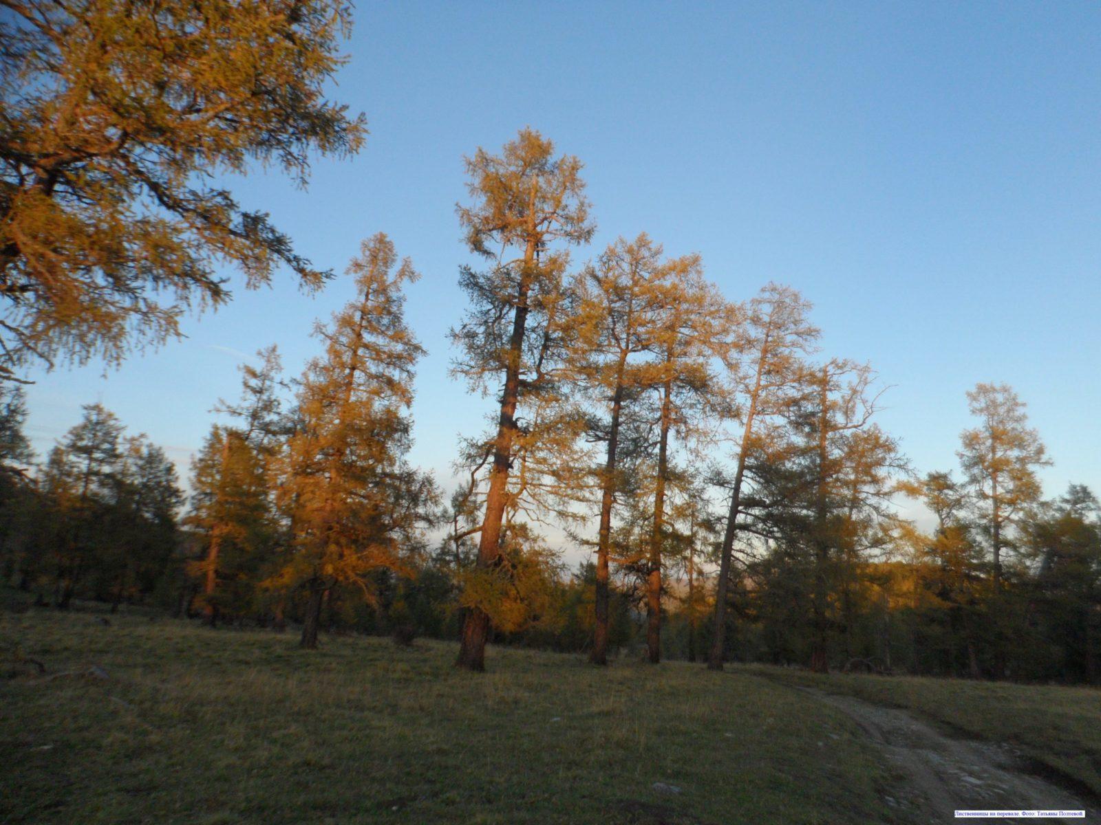 Лиственницы на перевале.
