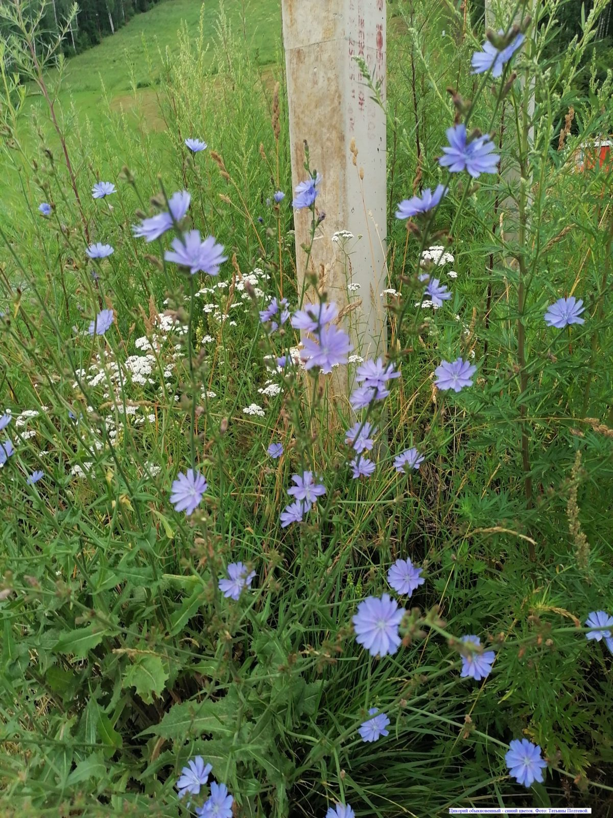 Цикорий обыкновенный - синий цветок.
