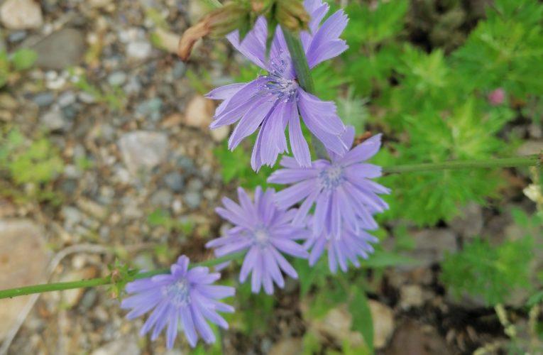 Цикорий обыкновенный (синий цветок): описание, применение