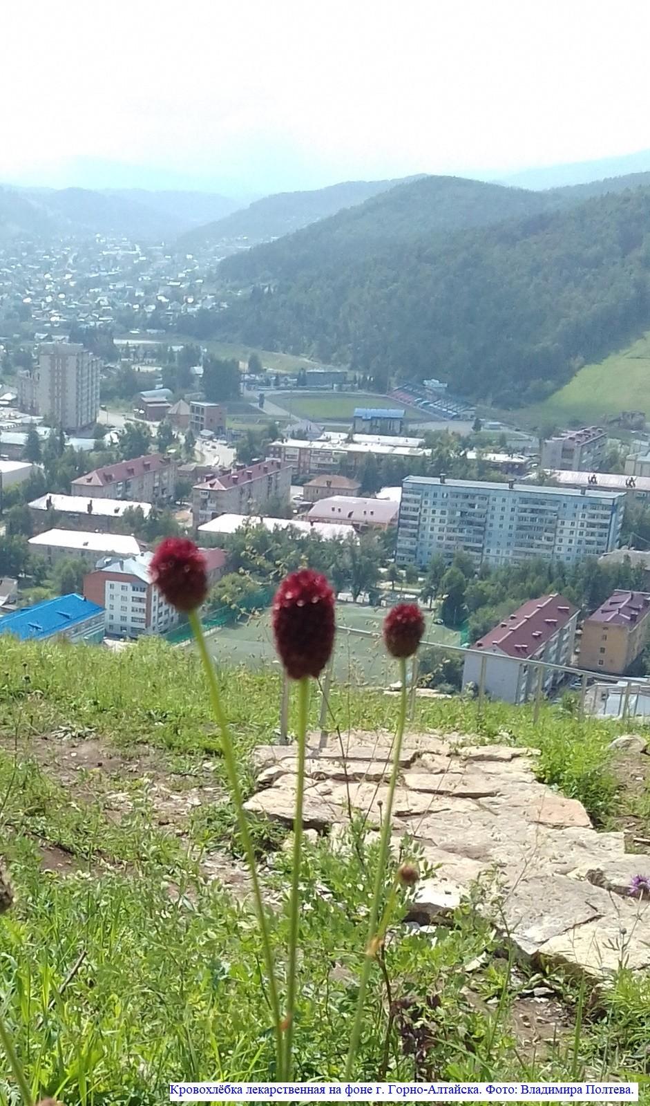 Кровохлёбка лекарственная на фоне г. Горно-Алтайска.