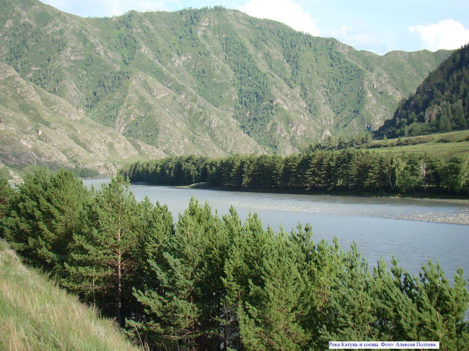 Река Катунь и сосны.