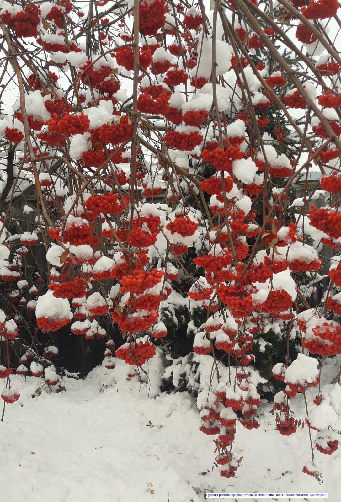 Гроздья рябины красной от снега склонились вниз...