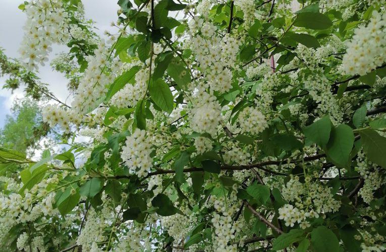 Перечень хозяйственно полезных растений Алтая