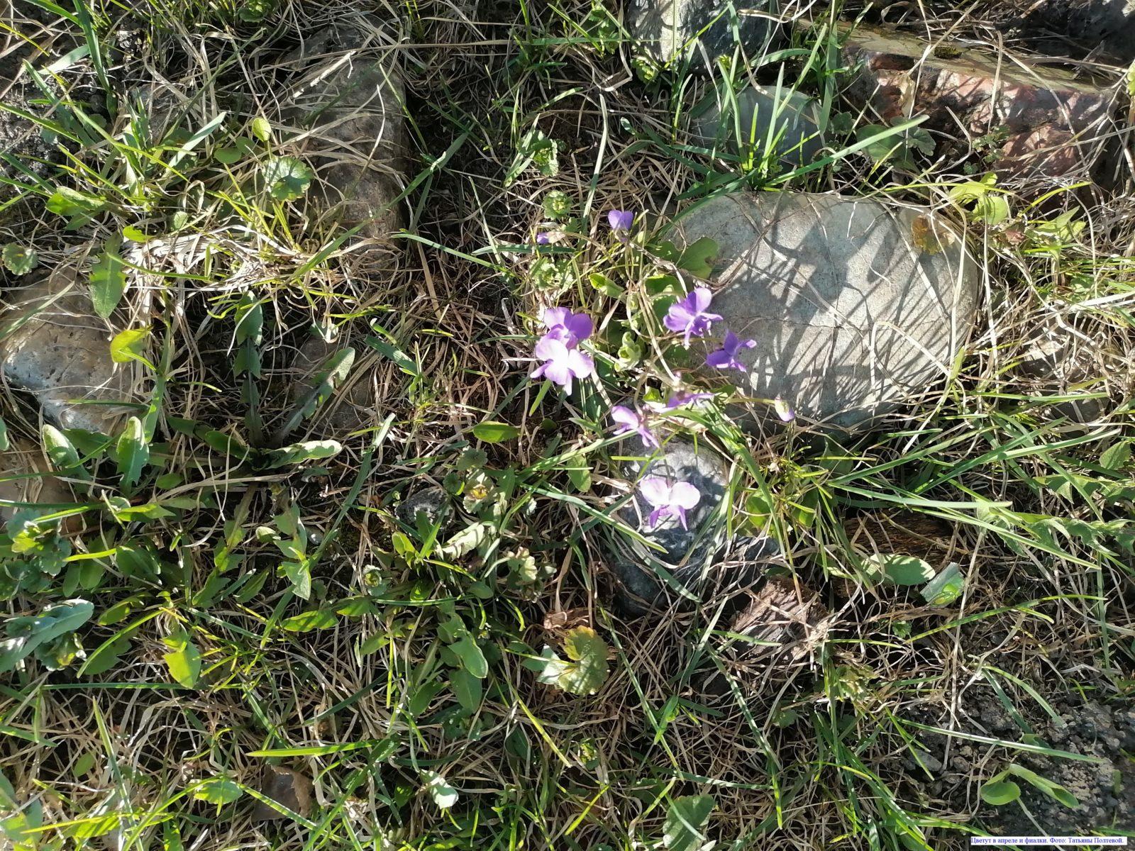 Цветут в апреле и фиалки.