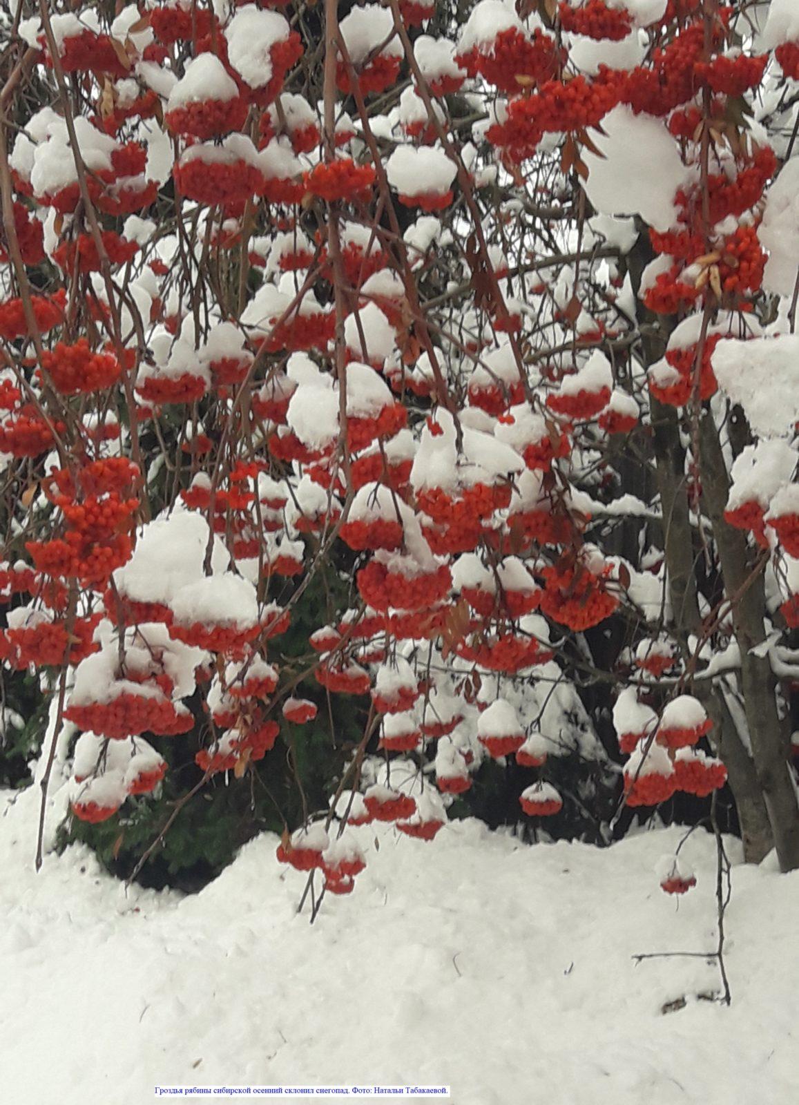 Гроздья рябины сибирской осенний склонил снегопад...