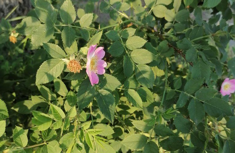 Шиповник цветущий.